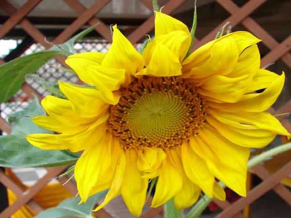 Słonecznik Van Ghoga