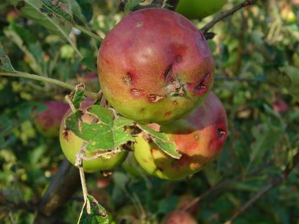 Jabłuszko pełne snów