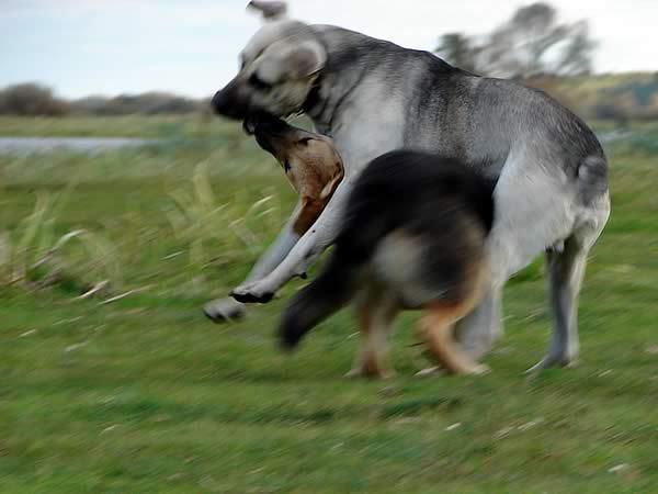 Zdjęcie - Psy się bawią
