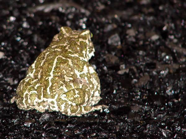 Żabka na węglu