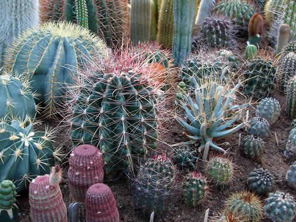 Zdjęcie - Kaktusy