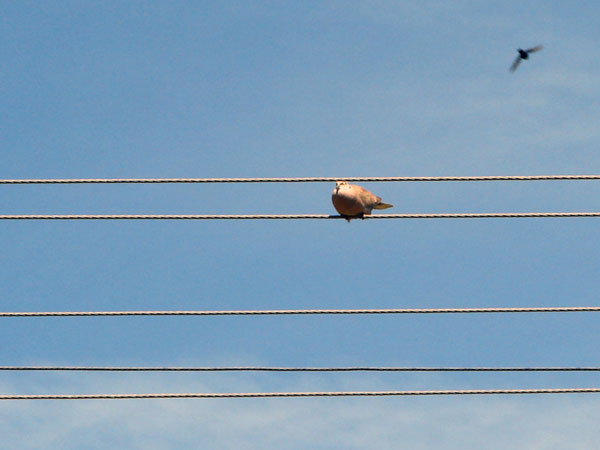 Zdjęcie - Siedzi gołąb i robi na drutach