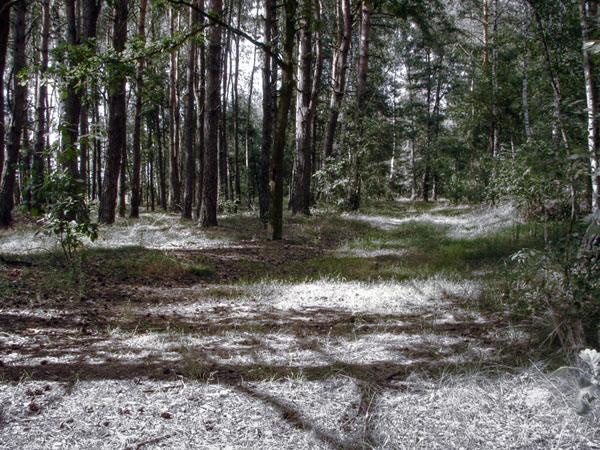 Szumi dokoła las