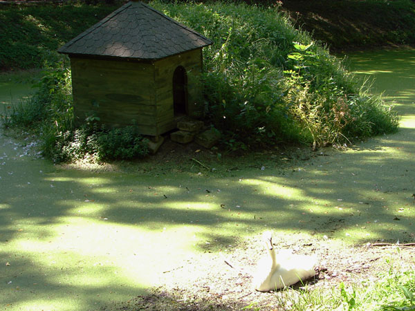 Łabędź na zielonym stawie