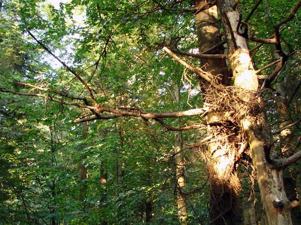 Zdjęcie - Drzewo