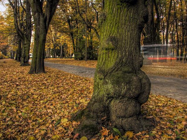 Zdjęcie - Bulwiaste drzewo
