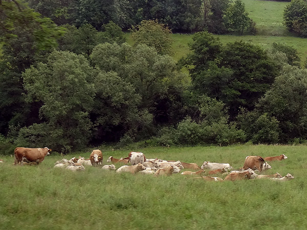 Lazy cows