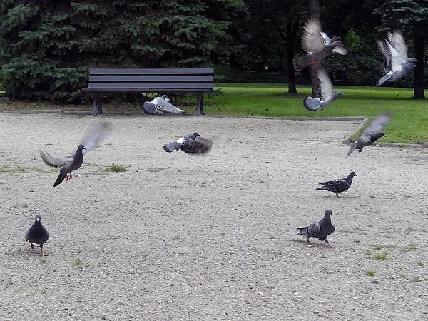 Gołębie sztuk kilka
