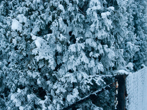 Zima na iglastych