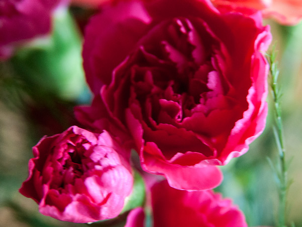 Goździki różowe